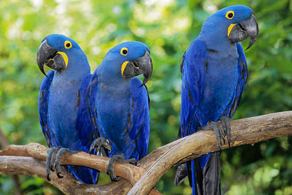 teach your pet hyacinth macaw to talk   icezen