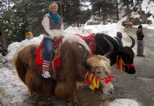 Yak Riding in Kufri, Shimla